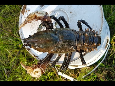 How to catch crayfish with meat and string