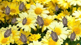 How To Get Rid Of Stink Bugs The Grumpy Gardener
