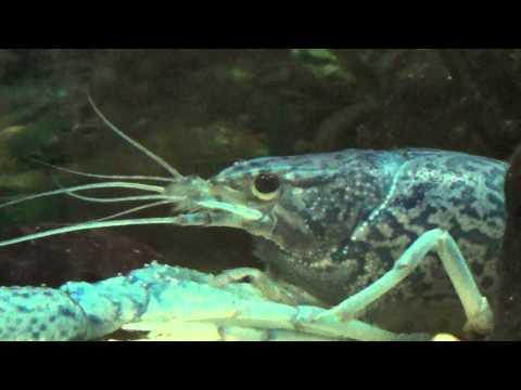 Crayfish Eyeball Cleaning