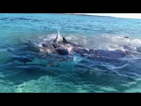 Tiger Sharks attack whale at Dirk Hartog Island