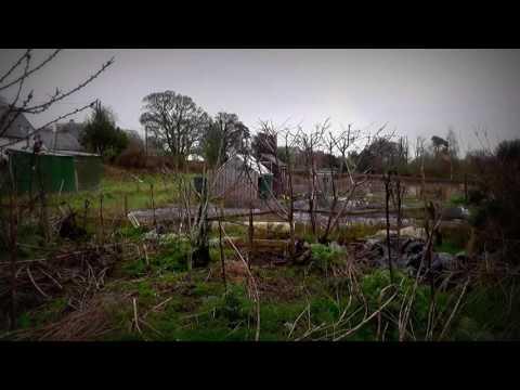 Stella Cherry Tree update and pruning