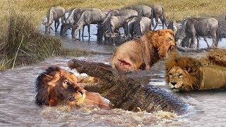 Download Most Amazing Moments Of Underwater Lion VS Crocodile Great Battle Wild Animals Attacks 2019 Video