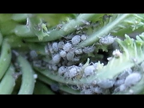 Easily Eliminate Aphids In The Garden | Free Organic Method
