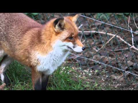 Attracting a red fox #2