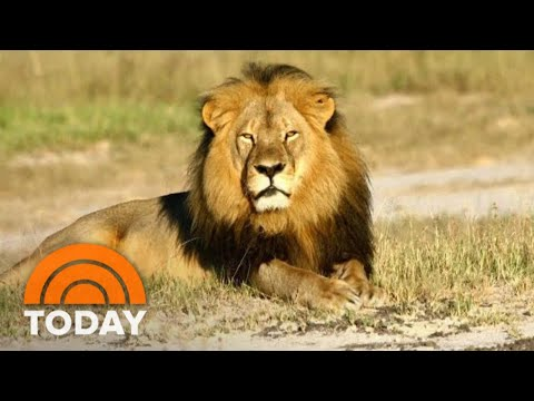 Cecil The Lion's Death: What Really Happened Is Revealed In New Book 'Lion Hearted' | TODAY