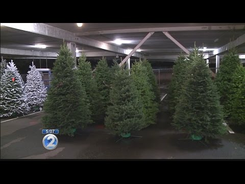Businessman ready to sell fresh Christmas trees big and small
