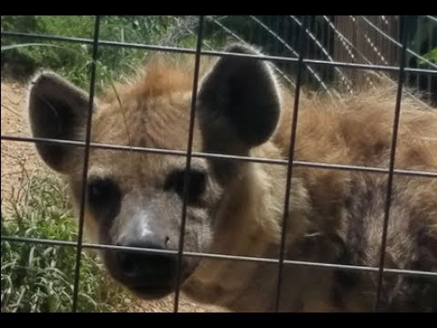 Face Of A Captive HYENA Up Close and Personal (Feeding Fruit United States Virginia)