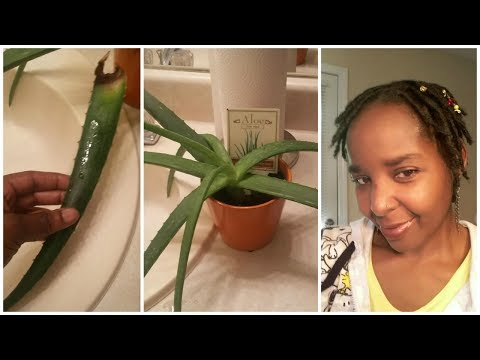 Aloe Vera Plant And My Locs ♡