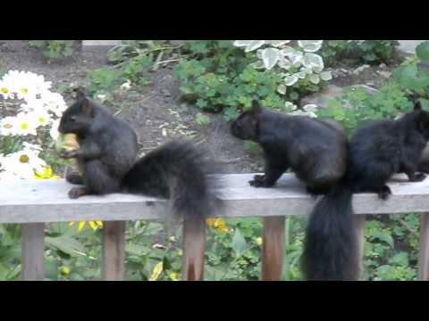Squirrels eating apple