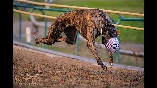 Race in desert #5   dog race in Pakistan   greyhound race 2018