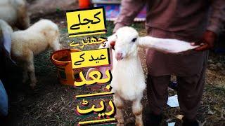 RATE GIR GAYA ?! Kajla Chatra Rate In Lahore Shahpur Mandi