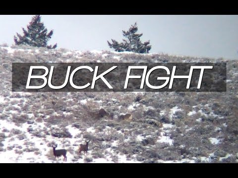 BIG MULE DEER BUCKS FIGHTING: 2017 Semi-Live Day #2