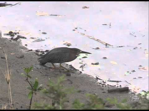 Montserrat Birding in Paradise
