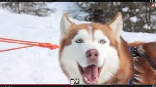 Awesome Talking Huskies Compilation