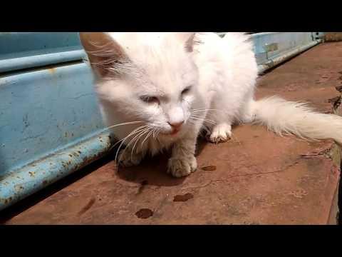 Rabies symptoms In cat