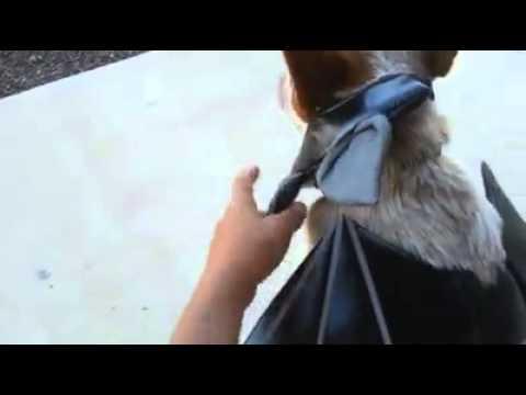 Cattle Dog Bat Costume