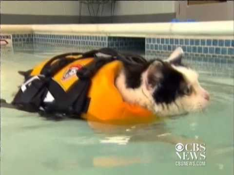 Fat cat swims to lose weight