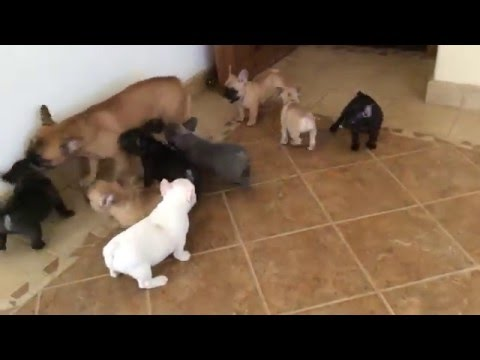 When French Bulldog Puppies Attack!!