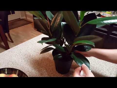 How to clean a rubber plant