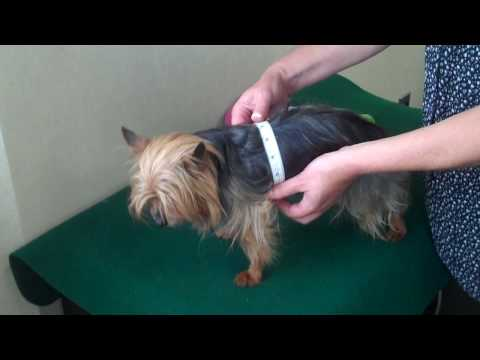 How to Measure Your Dog for Clothing