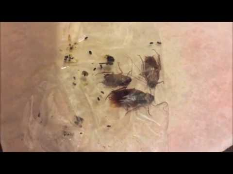 Giant Cockroaches invading my Apartment. American Cockroach/Waterbug (How I got rid of them)