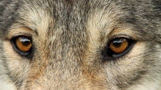 Awesome 98% Timber Wolf Acts Just Like A Dog!
