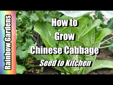 How to Grow Napa / Chinese Cabbage 101 - Seed to Kitchen! Everything You Need to Know