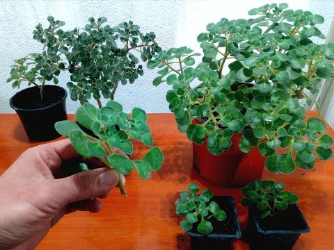 How to care, grow and pruning for Tree of Love / Aichryson laxum