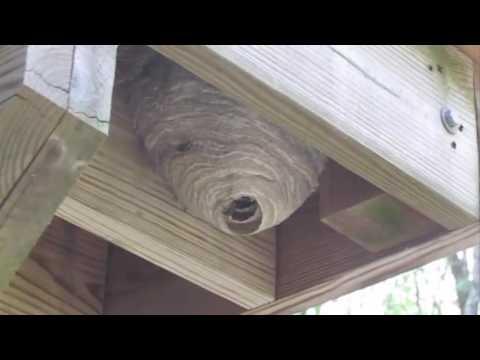 Bald Faced Hornets Nest Northborough, Ma