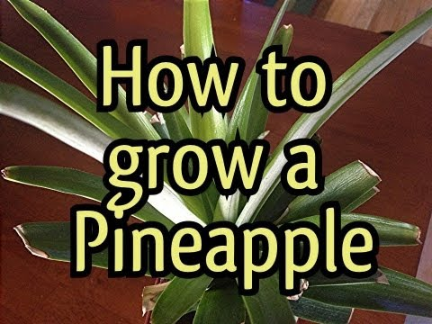 How To Grow a Pineapple Plant In 3 minutes: My Pinepapple update, I have new Growth!
