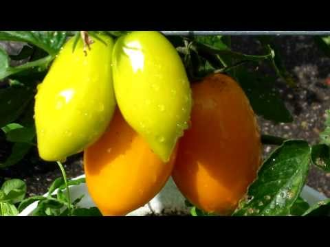 PlantProfile : Yellow Pear Tomato