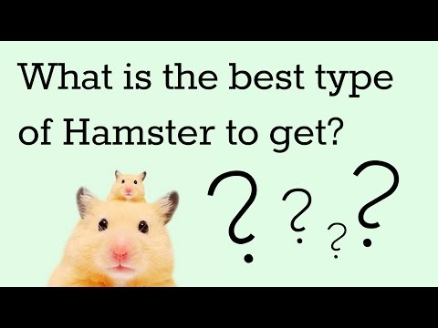 What is the Best Type of Hamster to get?