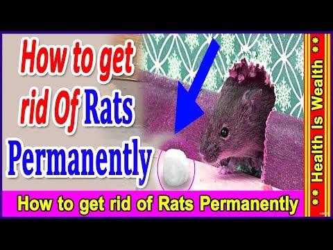 चूहे भगाने के घरेलू उपाय  - how to get rid of rats permanently-Health Is Wealth