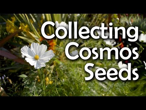 Collecting Cosmos Seeds - How & When to Harvest