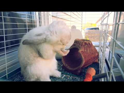 Bunny cleaning his ear....so cute!!!