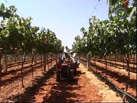 Training of Grape Vines - 'Y' Trellis System