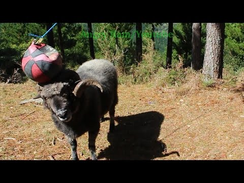 Angry Ram's first encounter with the tetherball