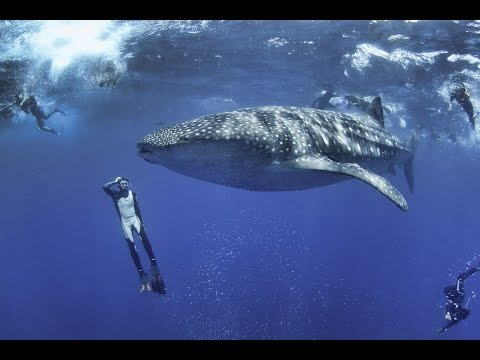 Snorkel and Swim with Whale Sharks out of Cancun, Mexico.