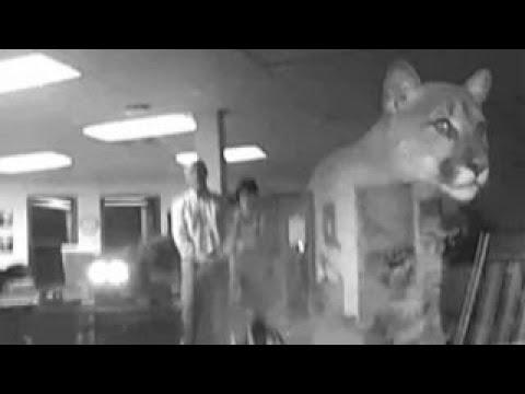 Cougar stares through school window shocking principal, wife