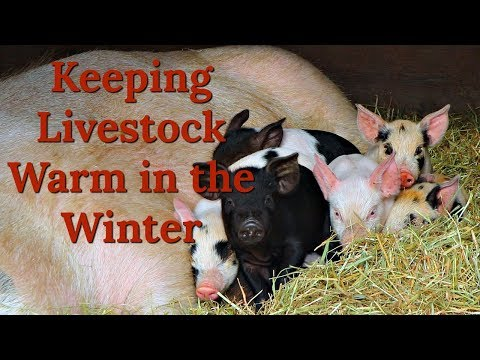 How We Keep Chickens and Pigs Warm in the Winter