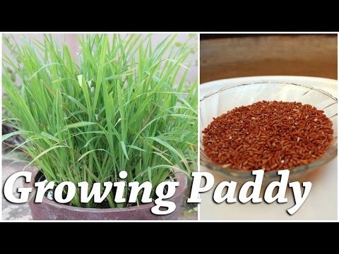 Growing Rice (Paddy) in a Container - Terrace Garden
