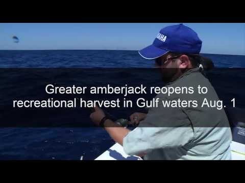 Greater Amberjack Opens August 1st in Florida