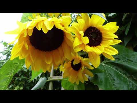 How to Grow The Tallest Sunflowers