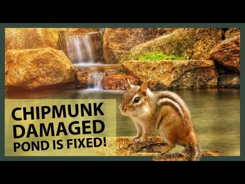 CHIPMUNK DAMAGED POND IS FIXED! Seaming a Fish Pond Liner