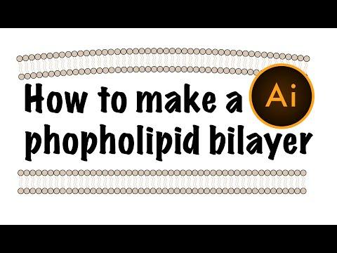 Phospholipid bilayer using Adobe Illustrator