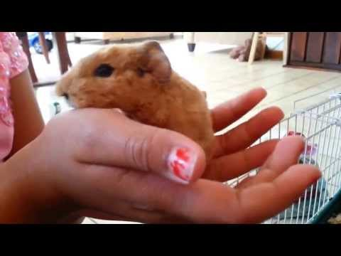 Adorable newborn Guinea pigs few hours old.