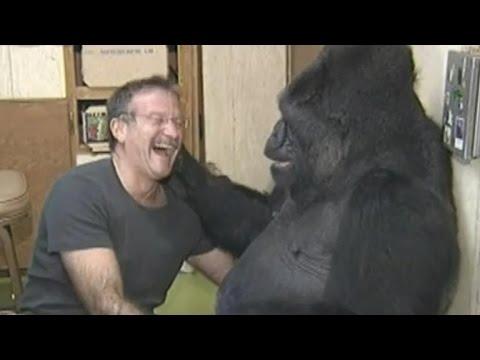 Koko the Gorilla Mourns Her Friend, Robin Williams