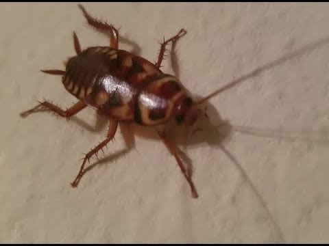Video of the Palmetto Bug American CockRoach (What does Look Like Picture Florida Texas California)