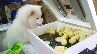 Funny Dogs Meeting Cute Baby Animals [Funny Pets]