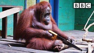 Orangutan saws a tree | Spy in the Wild - BBC